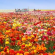 Flower Fields1