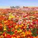 Flower Fields1